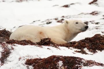 Polar Bear Lying Down in Snow