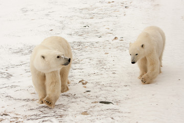 Two Polar Bears Walking in Snow
