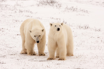 Two Polar Bears Standing Side by Side