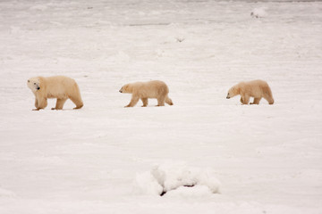 Mother Polar Bear and Cubs Walking in a Line