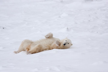 Adult Polar Bear Rolling in Snow