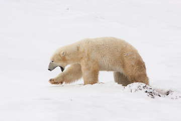 Polar Bear Walking in Snow with Mouth Open