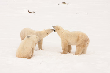 Mother Polar Bear Interacting with Two Cubs