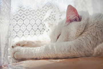 White cat sleeping near lace curtains