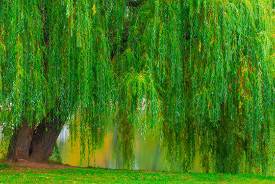 branchy green old willow hanging over the lake