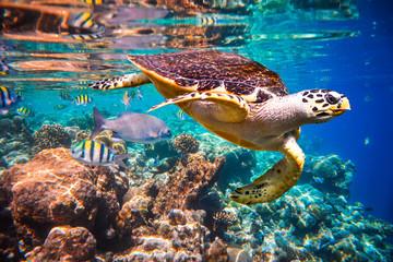 Zelfklevend Fotobehang Schildpad Hawksbill Turtle - Eretmochelys imbricata