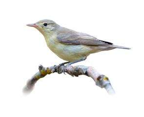 Chiffchaff on white