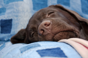 chocolate labrador retriever nose close-up