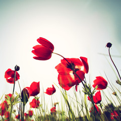 low angle photo of red poppies against sky with light burst.