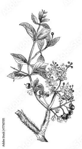 19th Century Engraving Of A Henna Plant Stock Photo And Royalty