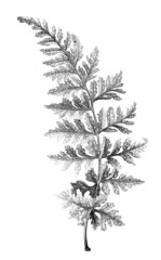 19th century engraving of a fern leaf