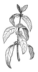 Victorian engraving of a coffee plant
