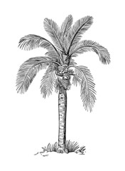 19th century engraving of a wax palm tree