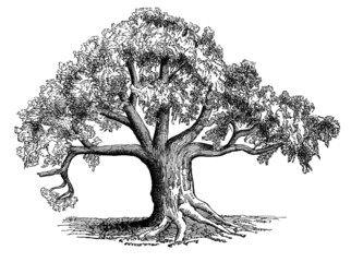 19th century engraving of a sycamore tree