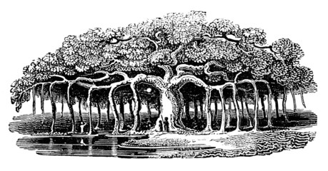 Wall Mural - Victorian engraving of a banyan tree