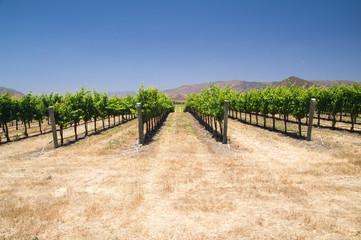 Grapevines in Califonia