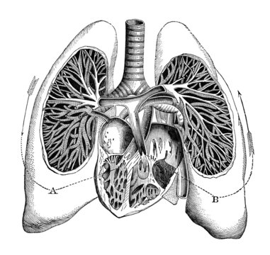 19th century medical engraving of human lungs and heart