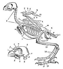 Victorian engraving of a skeleton of a bird