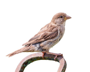 House sparrow on white