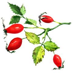 Rose hips isolated on white background