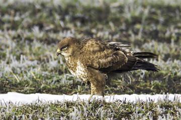 common buzzard in a winter scene / Buteo buteo