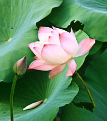 blooming lotus flower ( nelumbo nucifera )