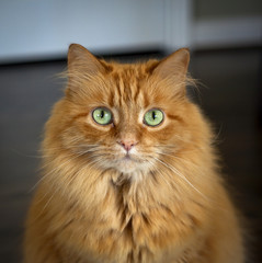 Ginger cat with green eyes staring at viewer