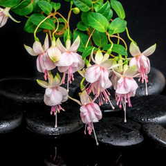 beautiful spa concept of branch fuchsia flower and zen basalt st