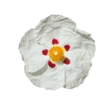 fleur de ciste blanche