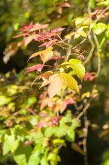 liquidambar styraciflua leaf,maple leaves