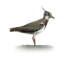 Northern Lapwing On White