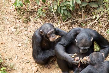 Schimpansen in Sierra Leone