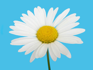 Flower white chamomile daisies on blue sky background