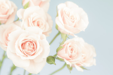 Pastel pink roses, muted colors