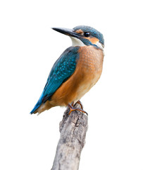 Common Kingfisher On White