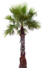 Palm tree with a large crown
