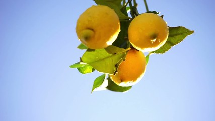 Wall Mural - wet lemons on a branch with blue sky
