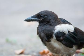 Juvenile Eurasian Magpie