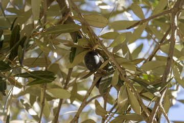 Single black olive ripening on a tree