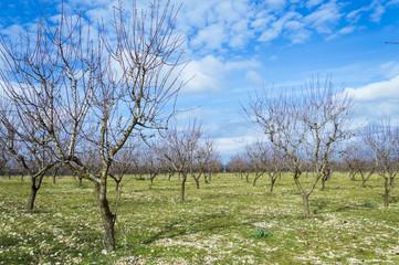 Campo di mandorli, Murgia, Puglia, Italia
