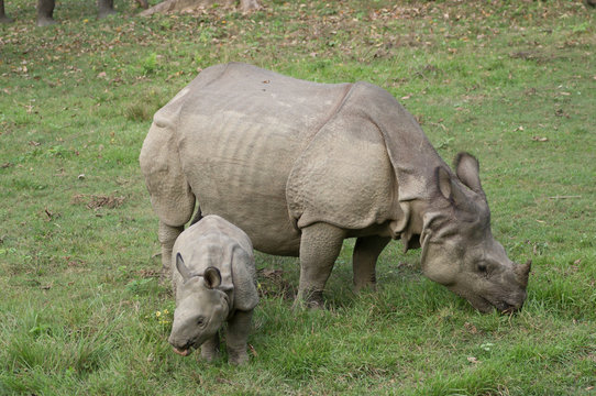 Mother and baby rhino