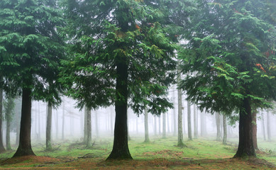 Wall Mural - cypress forest with fog