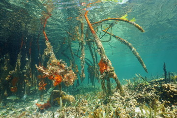 Underwater roots of red mangrove Rhizophora mangle