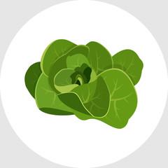 Lettuce Organic Food