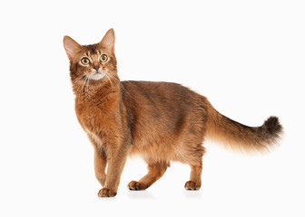 Cat. Somali cat ruddy color on white bakcground