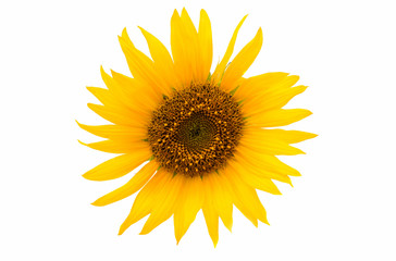 sunflower close up isolated
