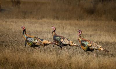 Wild turkeys with amazing color walk through field