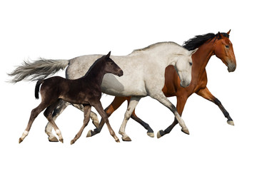 Group of horse run isolated on white background