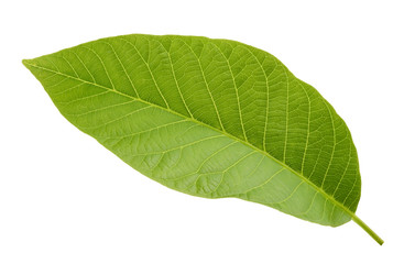 walnut leaf isolated on white