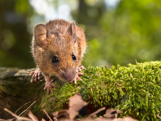 Field Mouse (Apodemus sylvaticus) looking in the camera